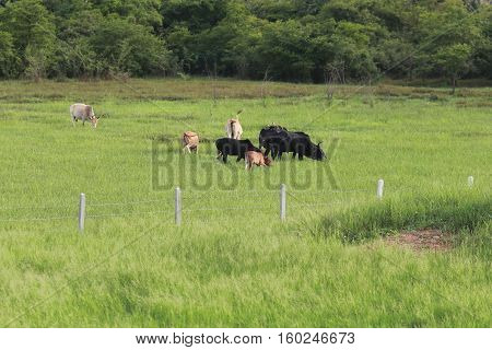 group of cow in fense with green grass surround