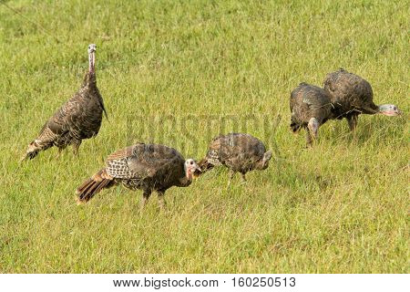 Flock of wild Turkeys foraging on a field