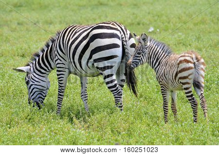 zebra herd in selous game reserve, Tanzania