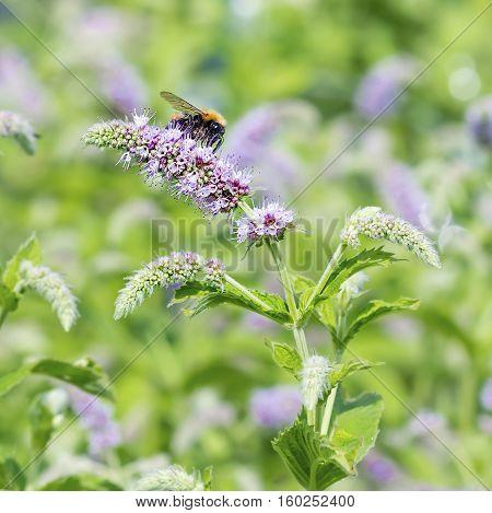 Blooming Mint longifolia (lat. Mentha longifolia). Bumblebee sitting on a flower Mint