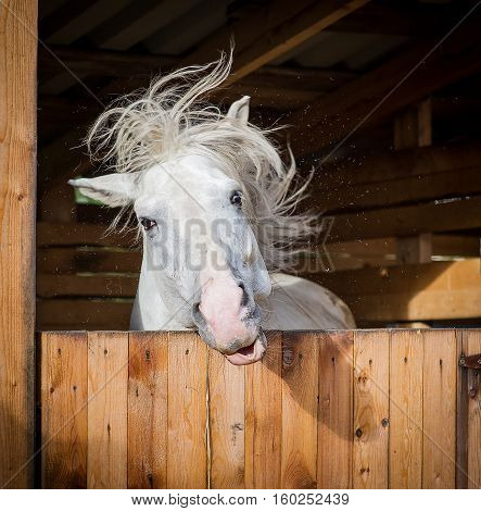 Funny portrait of horse shaking mane in summer stall
