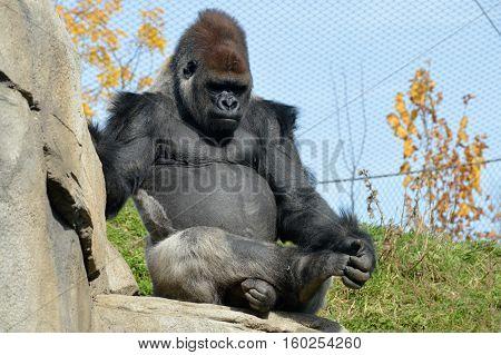 Lowland Western Gorilla sitting outside in the sun