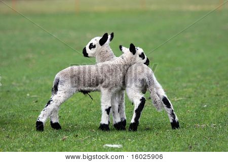 newborn kerry hill lambs in early spring poster