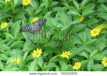 Ideopsis similis Ceylon Blue Glassy Tiger butterfly on yellow flower