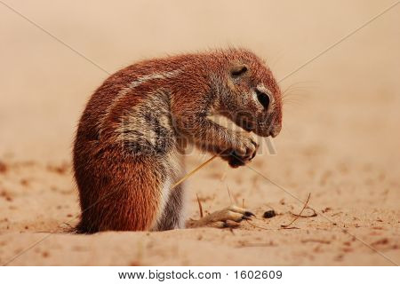 Ground Squirrel (Xerus inauris) eating seed pods in the Kgalagadi Transfrontier Park Kalahari Desert Southern Africa poster