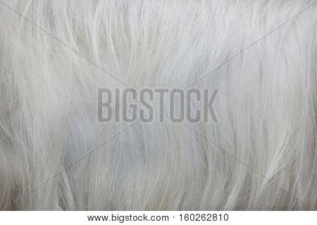Girgentana goat (Capra aegagrus hircus). Fur texture.