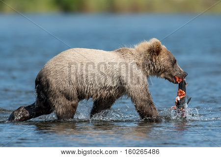 Young Alaskan Brown Bear Cub With Salmon