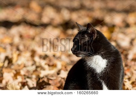Tabby Cat In Fall Leaves