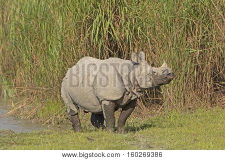 Indian Rhino on a River Bank in Kaziranga National Park in India