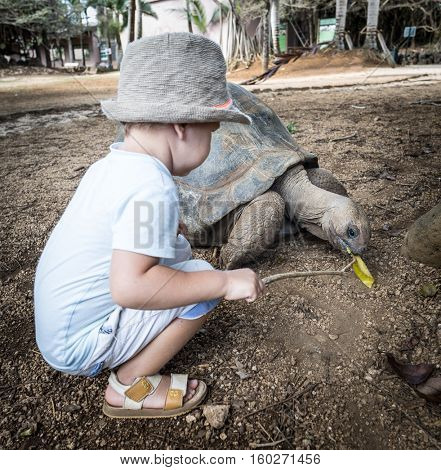 Child feeding Aldabra giant tortoise. Mauritius