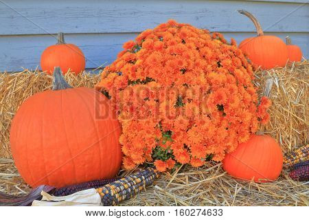 Picture of typical for Fall holiday Thanksgiving and Harvest decoration from pumpkins corn (maize) Bails of Hay and colorful Autumn mums arranged as decoration