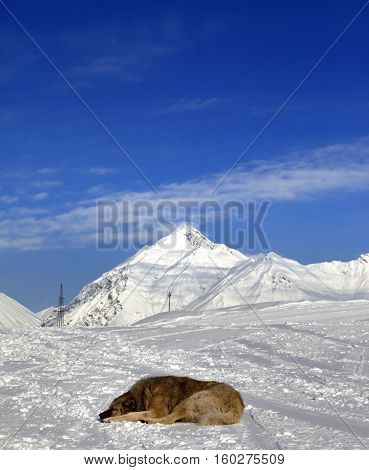 Dog sleep on ski at sun winter day. Caucasus Mountains Georgia region Gudauri.