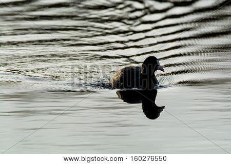 Black duck Eurasian Coot / Fulica atra floats in lake in the evening