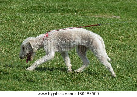 White domestic dog aka Canis lupus familiaris mammal animal walking on the grass