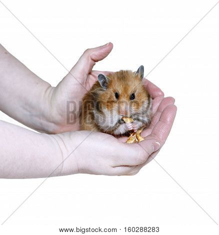 Brown Syrian hamster eating stuffing food in cheeks in female hands isolated on white background