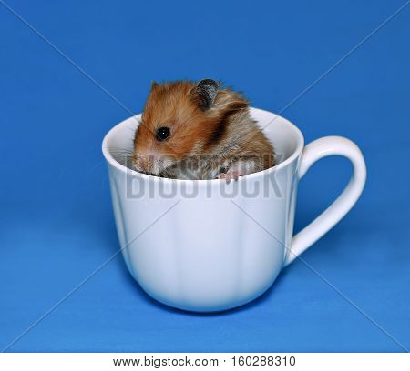 Cute brown hamster scared in a white porcelain cup on a blue background