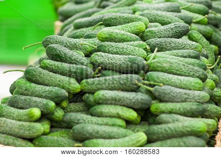 Green cucumbers, on shelf, supermarket. Pile of fresh green cucumbers. Fresh organic on shelf in supermarket. Healthy food concept. Vitamins.