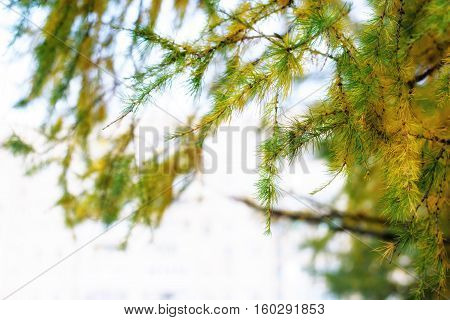 Macro view of larch tree branch and needles of yellow and green color late in autumn. Larch has spiritual meaning of protection and anti-theft.