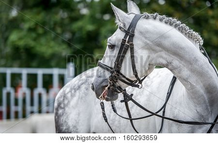 White horse close up portraiture during dressage show