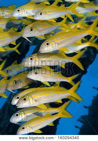 Shoal of Goatfish Vertical