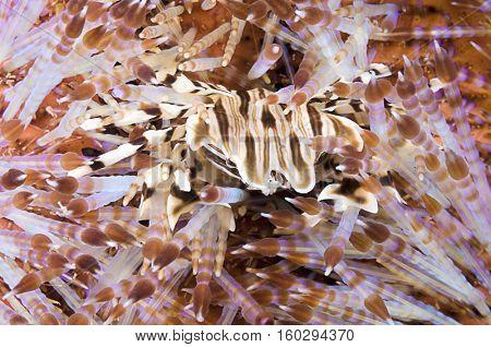 Urchin Crab