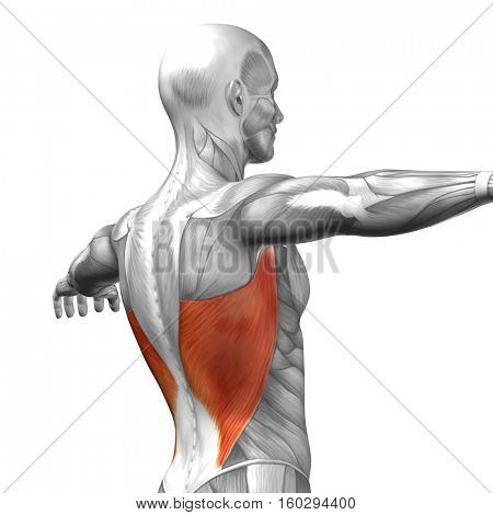 Concept or conceptual 3D illustration back human anatomy or anatomical and muscle isolated on white background