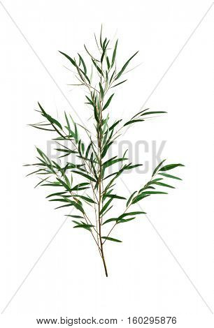 Branch of eucalyptus nicholii on white background