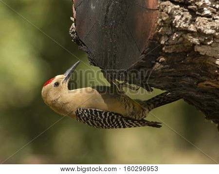 A Gila Woodpecker clings to a branch while foraging on the edge of a southeastern Arizona woodland.
