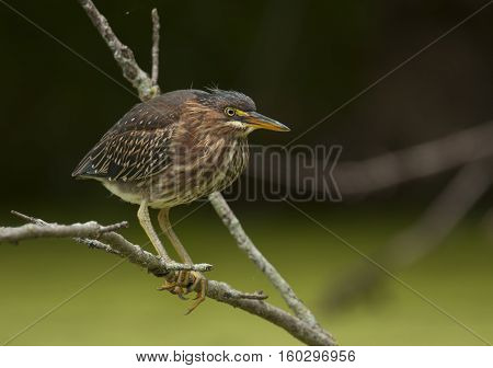 A Green Heron perches on a branch overhanging the backwaters of a midwest river while hunting for food.