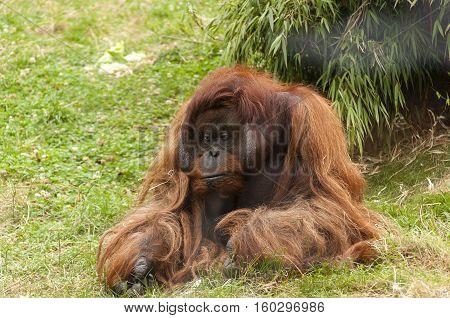 Vienna / Austria - July 22nd 2014: photo of a male orangutan at Vienna Zoo