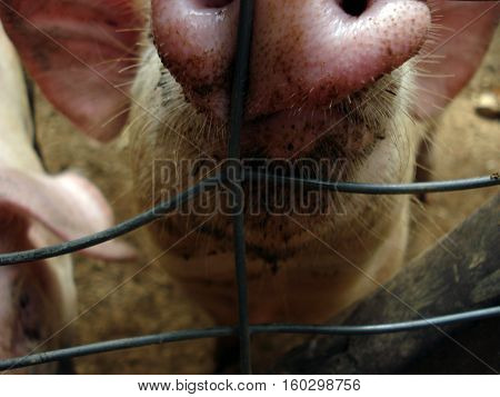 Closeup view on a pigs snout at the fence on the farm.