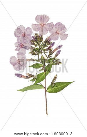 Pressed and dried delicate flowers phlox. Isolated on white background. . For use in scrapbooking floristry (oshibana) or herbarium.