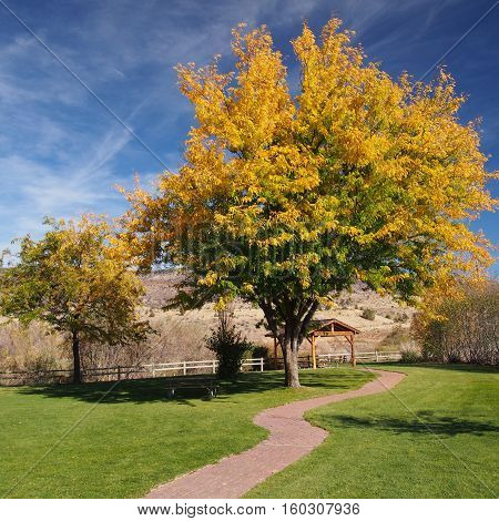 A brick path leading to a beautiful tree in a park in Eastern Oregon that has a mixture of gold and green leaves on a sunny fall day.