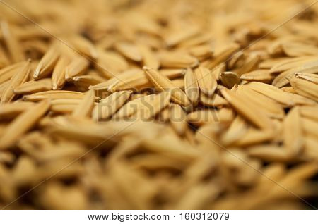 Close up paddy rice, Paddy rice has not shell out. Spread of paddy jasmine rice on the yard to dry in the sun Thailand ready to process as mass product.