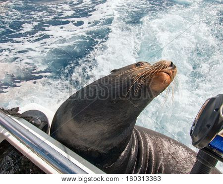 California Sea Lion arching his neck away on the back of charter fishing boat in Cabo San Lucas Baja Mexico BCS