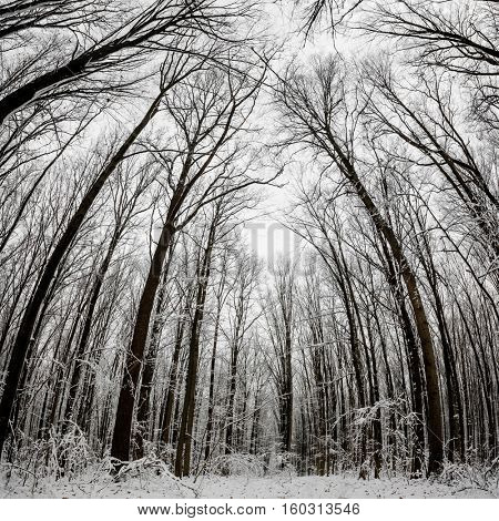 panorama.  winter forest trees. nature snow wood backgrounds.