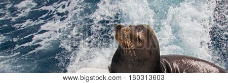 California Sea Lion on the back of charter fishing boat in Cabo San Lucas Baja Mexico BCS