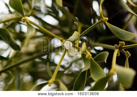 Mistletoe (Viscum album) plant with berries. Evergreen hemi-parasitic shrub in the family Santalaceae growing on hawthorn