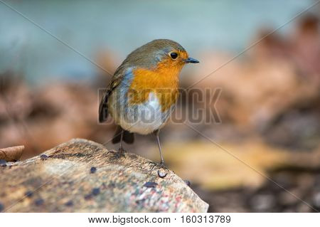 Robin (Erithacus rubecula) perched on log. Bird hunting for food in profile with particularly striking orange breast and fine detail in feathers