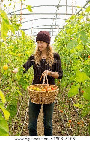 Smiling Blonde Woman Picks Organic Tomatoes Into Wooden Basket