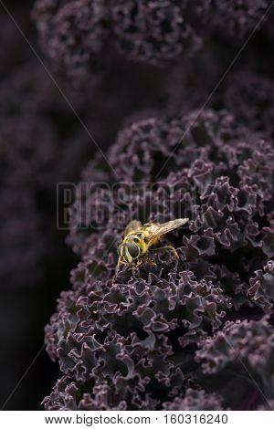 Yellow Jacket Hoverfly On Purple Kale