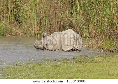 Indian Rhino Heading into the River in Karizanga National Park in India