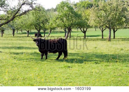Beautiful black bull standing on the meadow poster