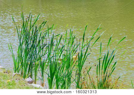 Reeds Growing At The Lake