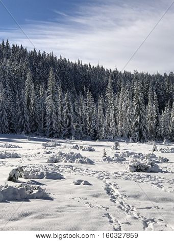 Fir trees in the Willamette National Forest in Oregon covered with fresh snow on a sunny day.