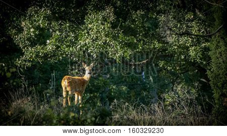 Roe deer - A roe deer is standing in the sun looking at the camera
