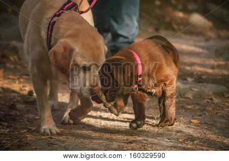 Shairing - Two dogs chairing a bone