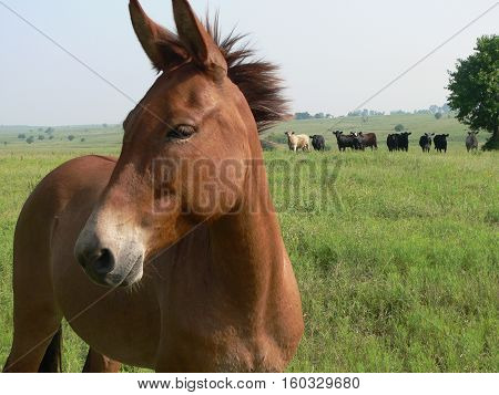 lonely mule in a field of cows in kansas