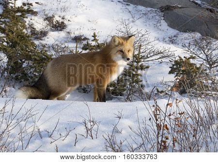 Close up image of a red fox who stops and listens for its prey.  Autumn in Churchill, Manitoba, Canada