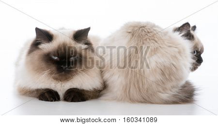 front and backside of ragdoll cats on white background